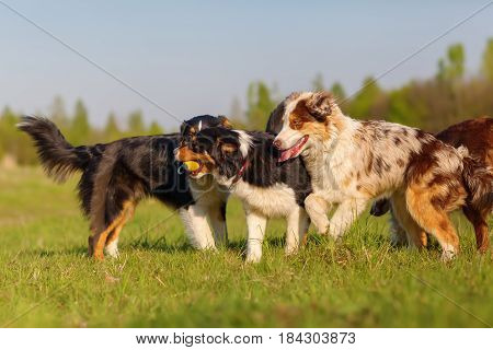 Group Of Australian Shepherd Dogs Playing Outdoors