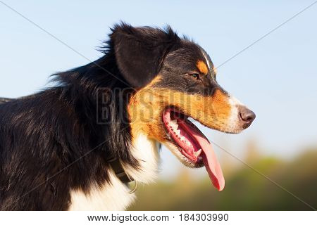 Side Portrait Of An Australian Shepherd