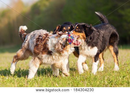 Three Australian Shepherd Dogs Playing With A Toy