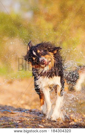 Australian Shepherd Shaking The Wet Fur