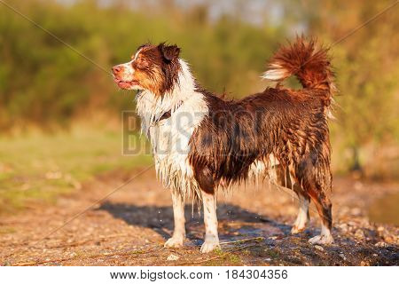 Portrait Of A Wet Australian Shepherd
