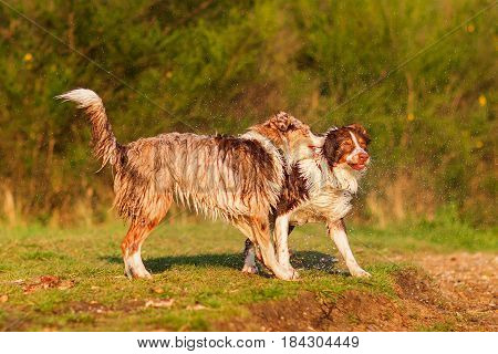 Two Wet Australian Shepherd Playing Lakeside