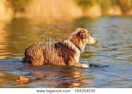 Australian Shepherd Walking In A Lake