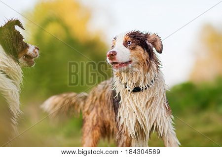 Portrait Of Two Wet Australian Shepherd Dogs