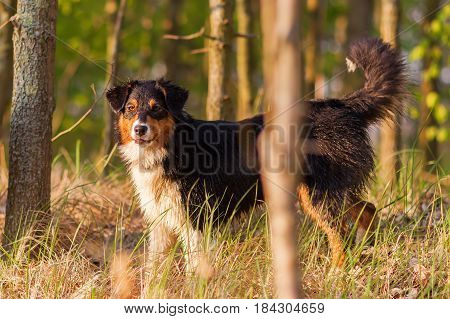 Portrait Of An Australian Shepherd Standing In The Forest