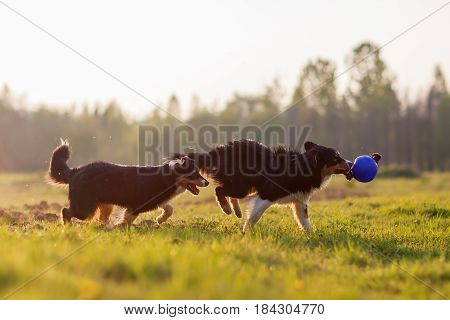 Australian Shepherd Dogs Playing With A Ball