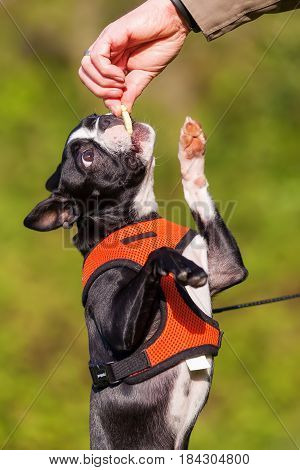 Boston Terrier Puppy Gets A Treat From Man's Hand