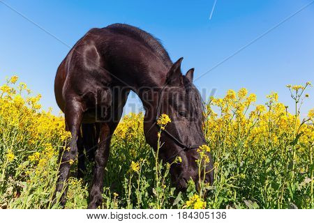 Portrait Of A Friesian Horse In A Rape Field