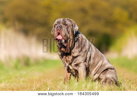 Portrait Of A Neapolitan Mastiff Outdoors
