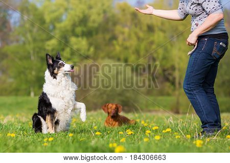 Woman Trains With A Border Collie Outdoors