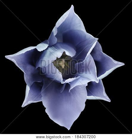 Blue tulip flower. Black isolated background with clipping path. Closeup. no shadows. For design. Nature.