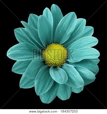 Turquoise gerbera flower. Black isolated background with clipping path. Closeup. no shadows. For design. Nature.