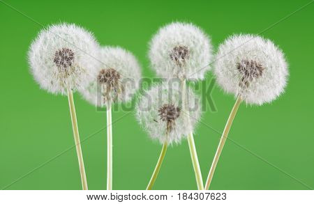 Dandelion on blank green background, beautiful flower, nature and spring concept.