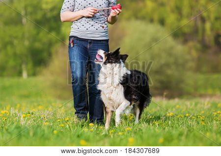 Woman Plays With A Border Collie On The Meadow