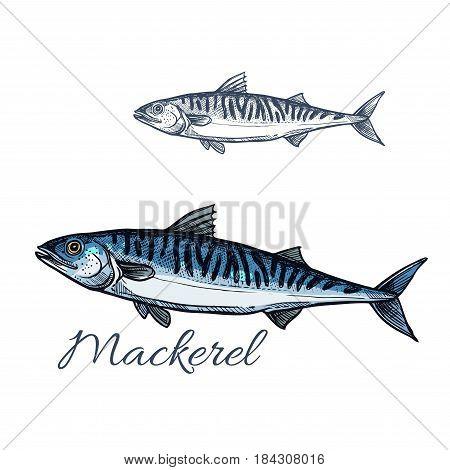 Mackerel sea fish isolated sketch. Atlantic mackerel predatory fish with silver blue body and wavy black lines on spine. Fishing sport badge, fish market label, seafood restaurant menu design