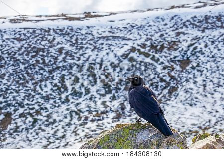 Portrait Of Australian Raven At Mount Kosciuszko National Park