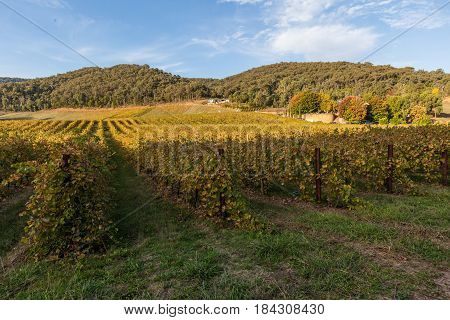 Vineyard In Australia In Autumn With Forested Hills In Background
