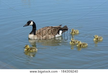 Canada goose parent swimming with brood of newborn goslings less than a week old