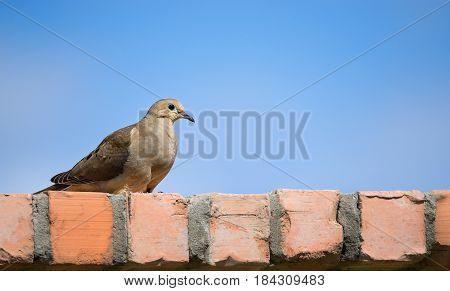 Mourning dove (Zenaida macroura) perched on a brick fence. Blue sky background with copy space.