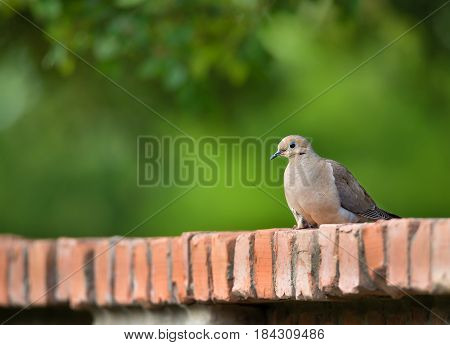 Mourning dove (Zenaida macroura) perched on a brick fence. Natural green background with copy space.