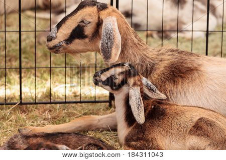 Mother And Baby Nigerian Dwarf Goat