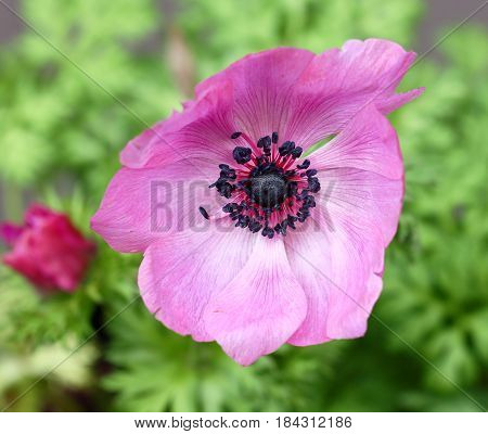 Top view of pink Anemone flower in Spring season selective focus.