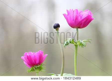Pink Anemone flowers in Spring season selective focus.