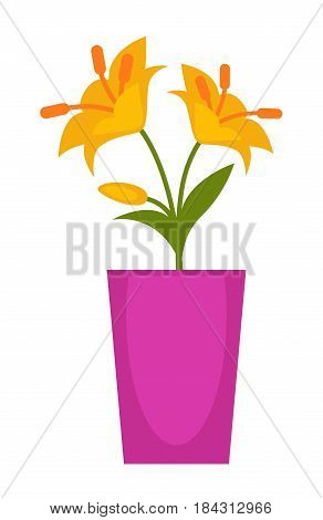 Yellow flowers in long violet flowerpot isolated on white. Vector colorful illustration in flat design of two open blossoms with many yellow petals and long filling on green stem with leaves.