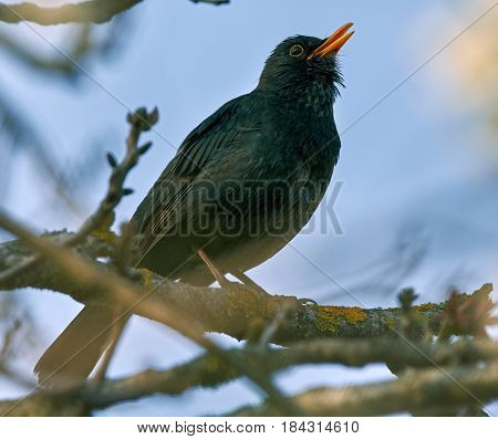Blackbird Singing On A Branch