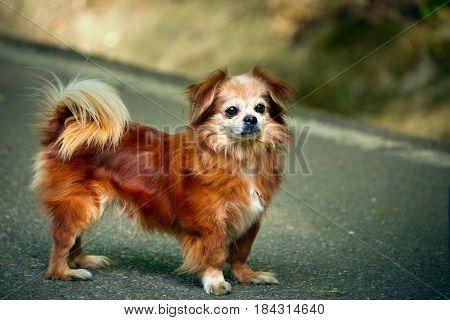 Beautiful Pekingese Dog Outdoor