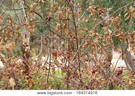 Native Australian shrub bush with brown leaves and red berries along a bush walk trail dry Autumn