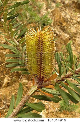 Yellow banksia flower bud on a tree in the Australian bush