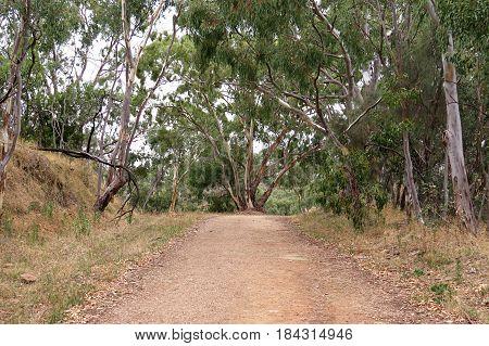 Australian bush walking trail brown dry grass and gum Eucalyptus trees