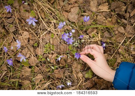 Top view on child's hand picking forest first snowdrops. Spring time background