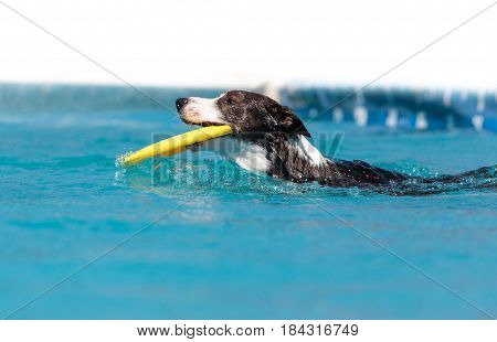 Border Collie Swims With A Toy