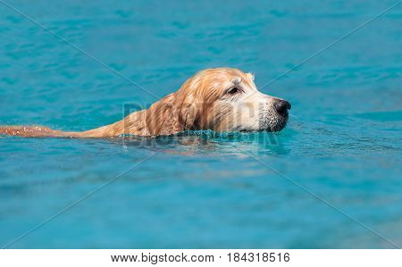 Golden Retriever Swims With A Toy