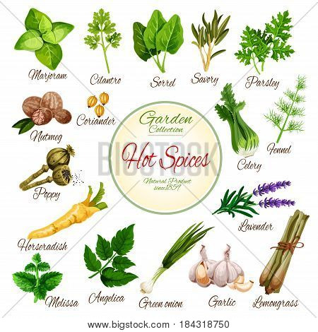 Hot spices, herbs and vegetables. Fresh mint, thyme, rosemary and onion, garlic, parsley and nutmeg, marjoram, celery and fennel, coriander and sorrel, lavender and poppy flower for spice shop design