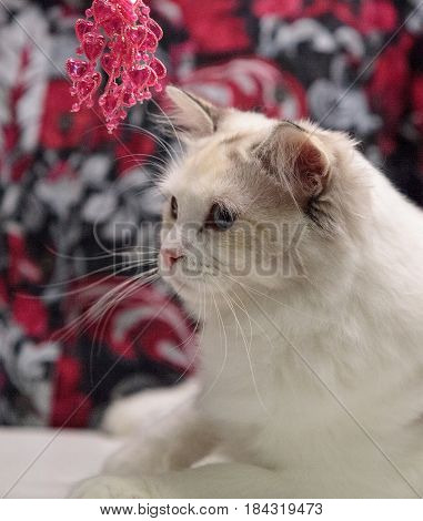 White Shorthaired Cat