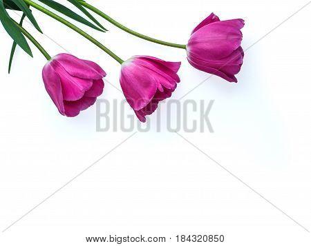 Rose buds Tulip flower isolated on white background. Studio shot, template for Mother's Day, 8 March and other greeting cards for lovely women. Horizontal, top view.