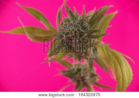Detail of cannabis cola (Mangolope marijuana strain) with visible hairs and leaves on late flowering stage - isolated over pink background