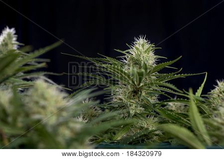 Detail of Cannabis cola (green crack marijuana strain) with visible hairs, trichomes and leaves on late flowering stage - isolated over black background