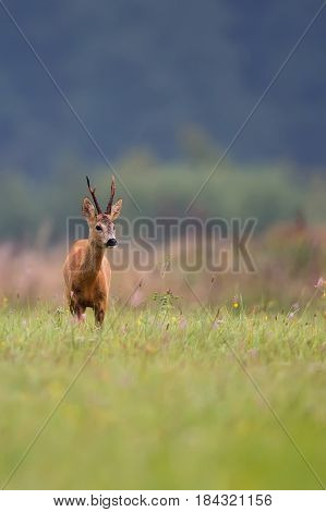 Buck deer in a clearing in the wild