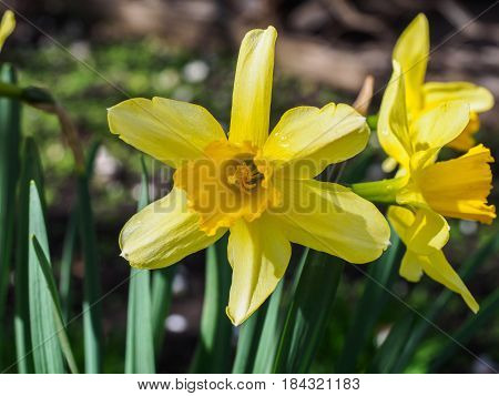 Yellow blooming daffodils, narcissus on blurred background. Spring flowers photographed with a soft focus, macro, close-up.