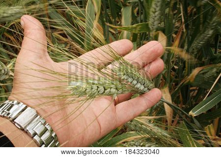 green shoots of wheat in the palms