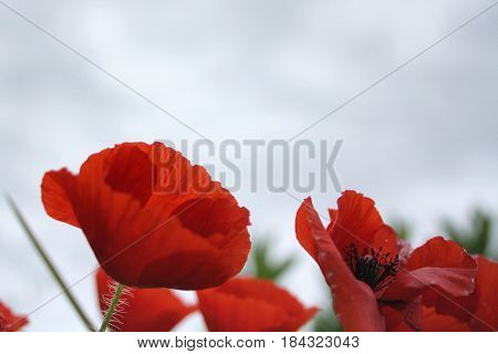 red poppies view from the bottom up
