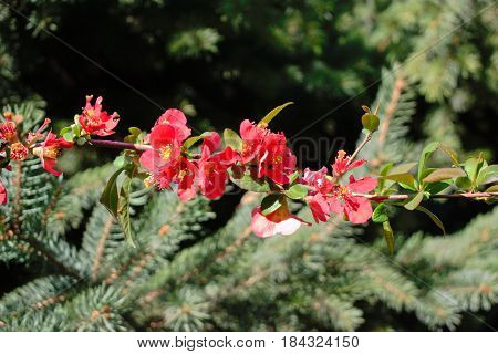 Closeup of small red flowers in spring
