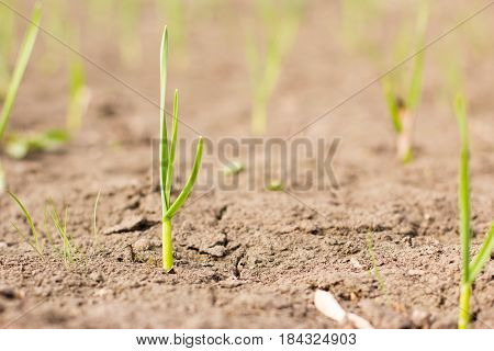 Agriculture. Growing plants. Young baby plants growing