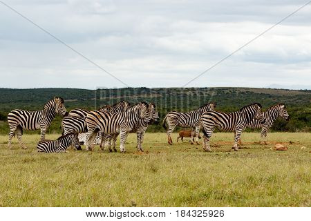 Zebras Lining Up For Some Water