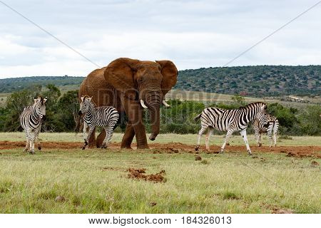 The Angry Elephant Chasing The Zebras Away