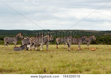 Zebras Standing And Lining Up For Some Water
